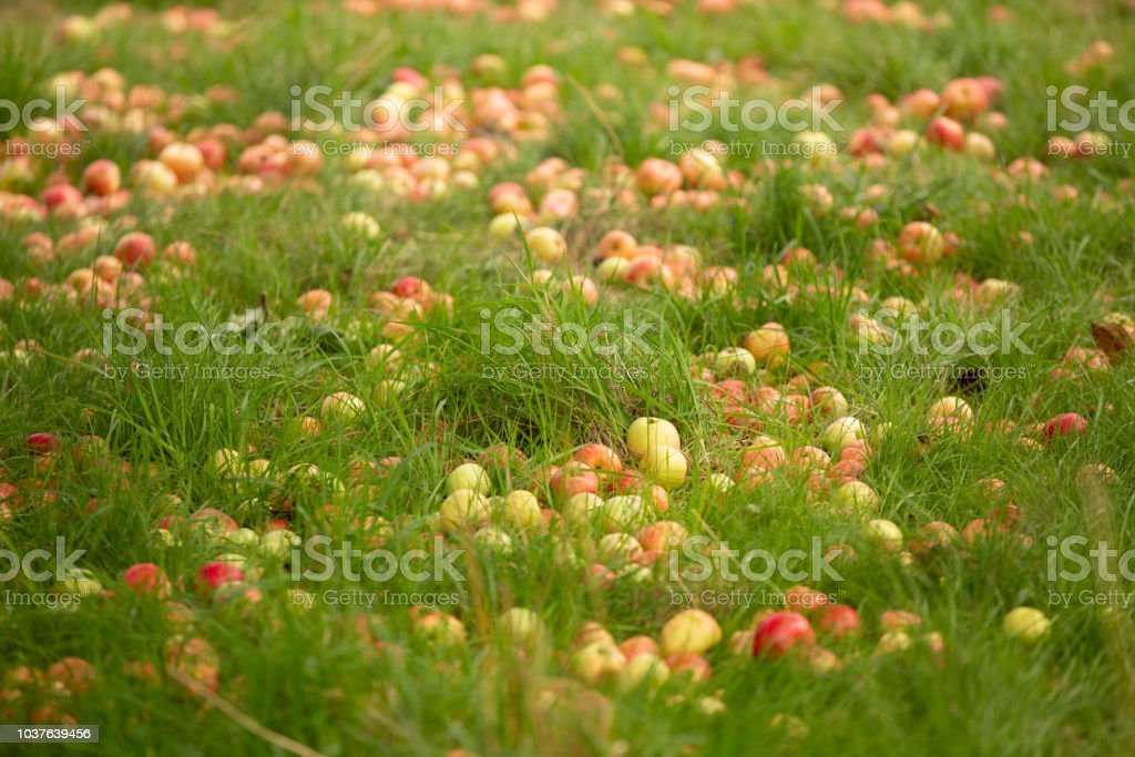 Fallen apples on the ground stock photo