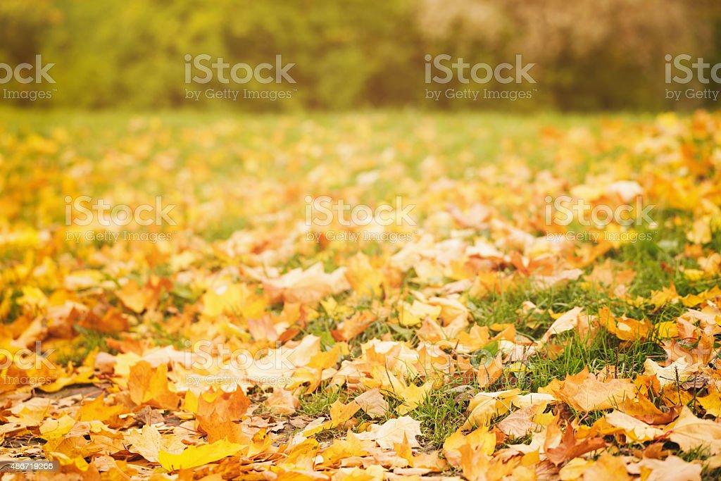 fallen autumn leaves on grass in sunny morning light stock photo