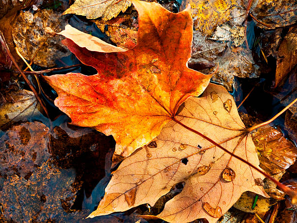 fallen autumn maple leaf stock photo
