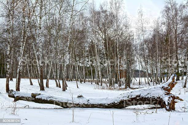 Photo of Fallen birch in winter forest