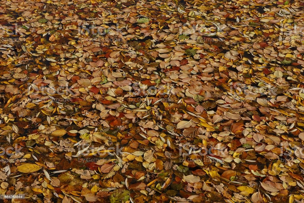 fallen brown and yellow leaves on the lake's water royalty-free stock photo
