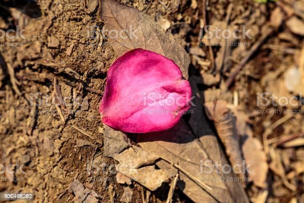 Fallen camellia petal picture id930498262?b=1&k=6&m=930498262&s=612x612&h=iuf8ssdioxe cjsajb6m9xhibognl7m6qi9xnjdwbj0=