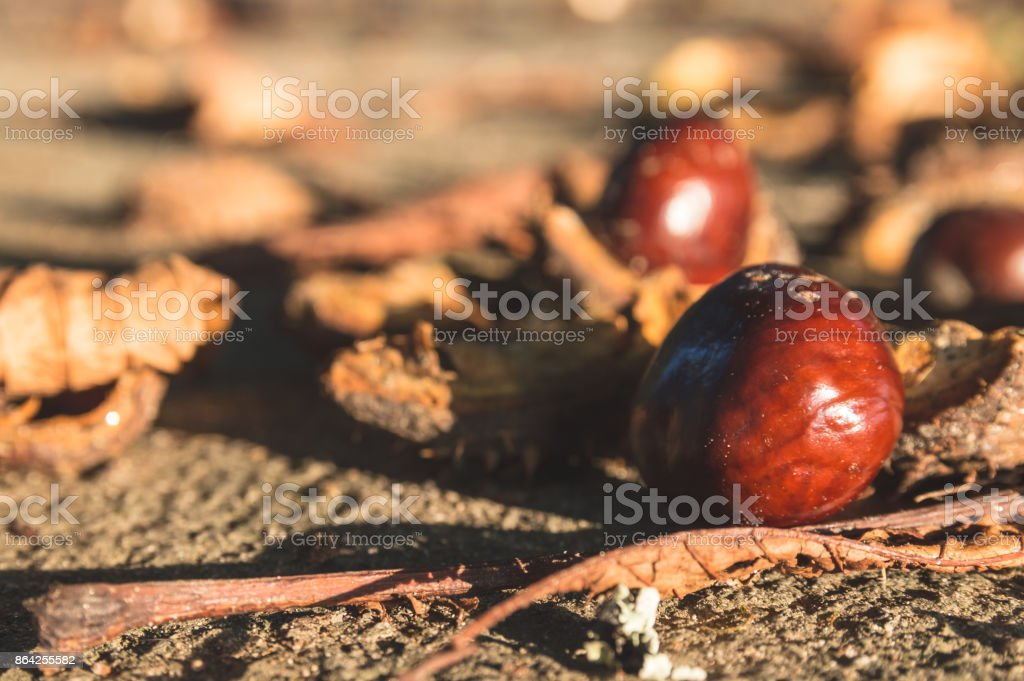 Fallen chestnuts royalty-free stock photo
