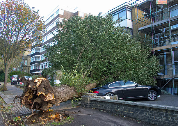 Fallen Elm Tree Hove, England - October 28, 2013: Fallen Elm tree, blown over during high winds in Hove, East Sussex, during night of 28/29th October 2013. fallen tree stock pictures, royalty-free photos & images