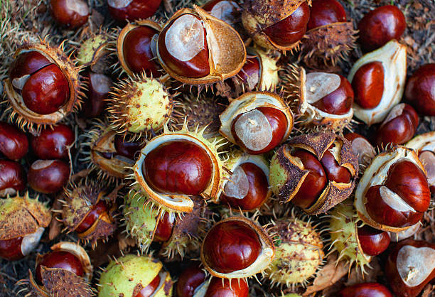 Fallen from the trees chestnuts in the shell. stock photo