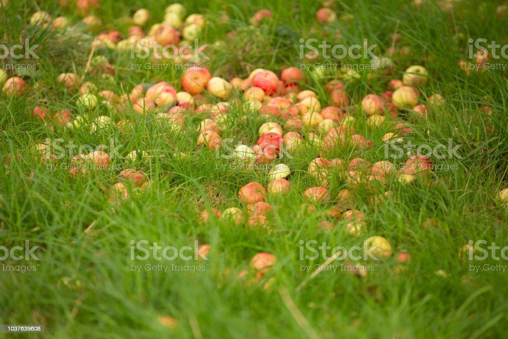 Fallen fruit on the ground stock photo