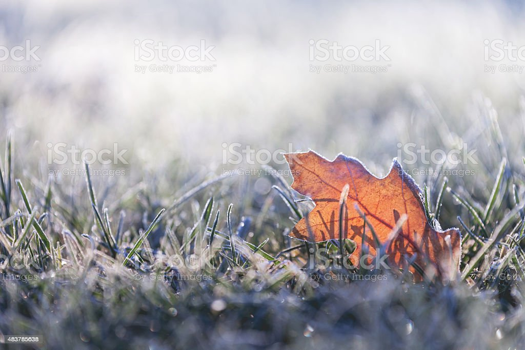 Fallen leaf covered in winter frost