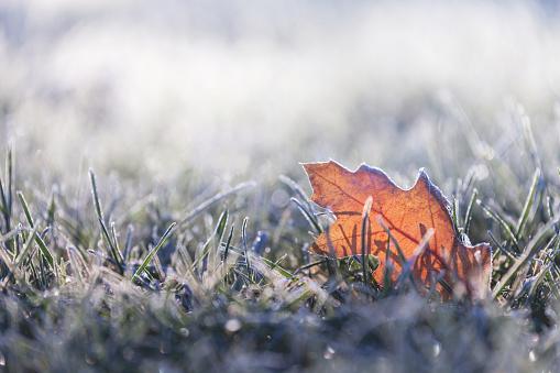 Fallen leaf covered in winter frost