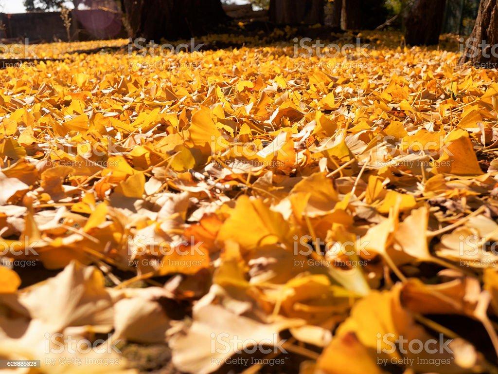 Fallen leaf of gingko nut ストックフォト