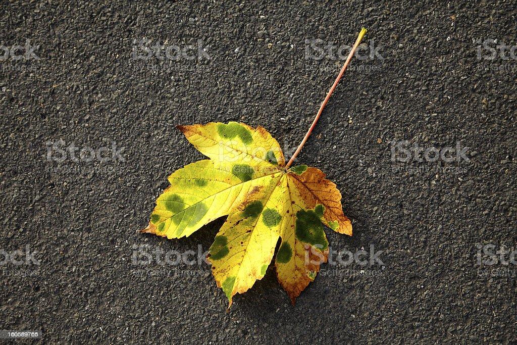 fallen leafe on asphalt royalty-free stock photo