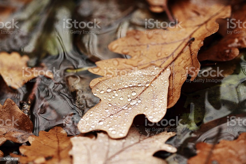 Fallen leaves covered with raindrops royalty-free stock photo