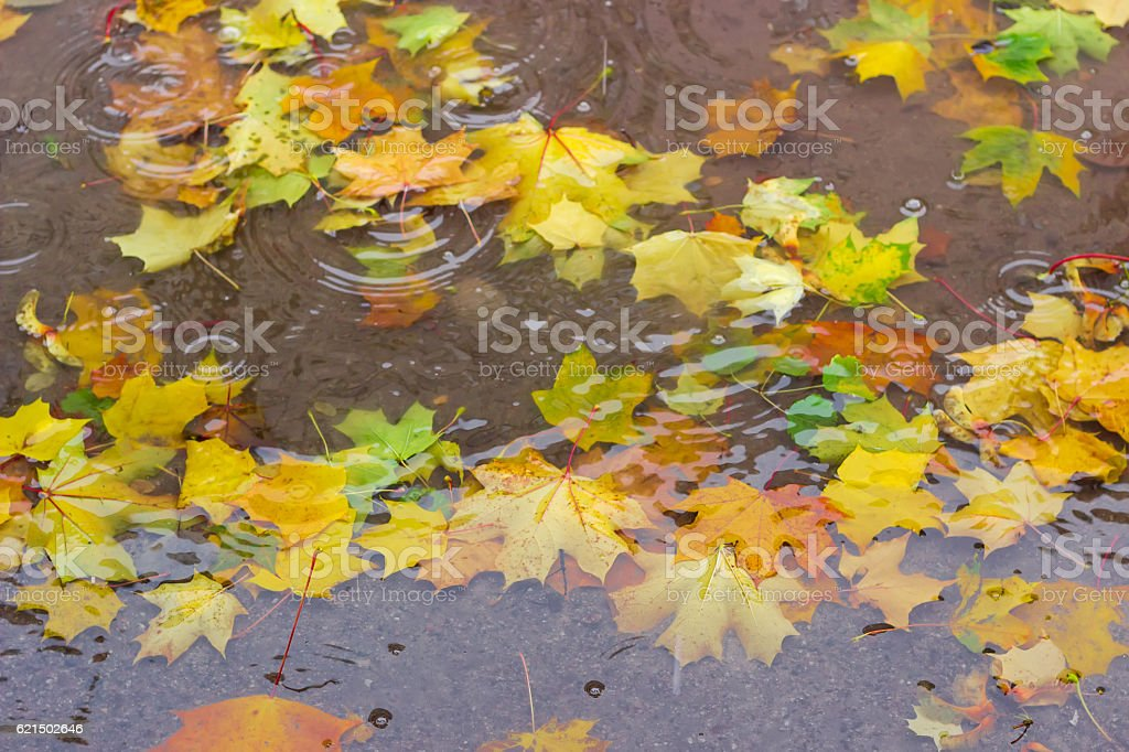 Fallen leaves of maple in puddle of water during rain photo libre de droits
