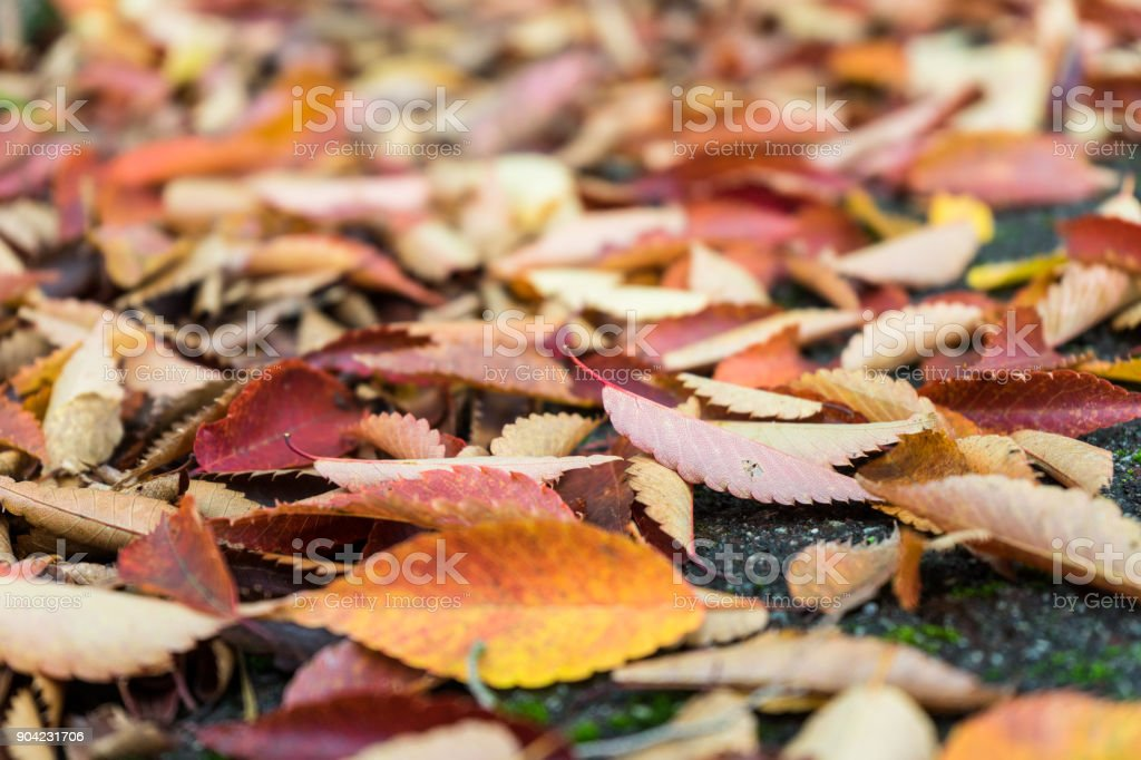 Fallen leaves of the cherry tree stock photo