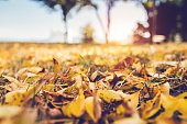 Dry yellow autumn leaves on the ground