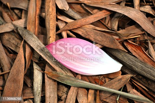 Fallen lotus flower petal and leaves on the ground