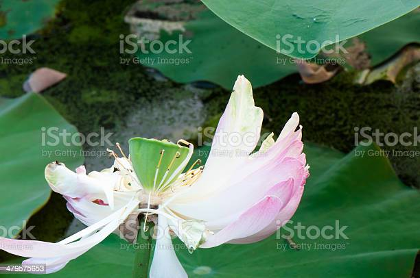 Fallen lotus petals picture id479575653?b=1&k=6&m=479575653&s=612x612&h=inbedzrh7tthcegnyhzukxygidfe 4qys2rni0qaxvg=