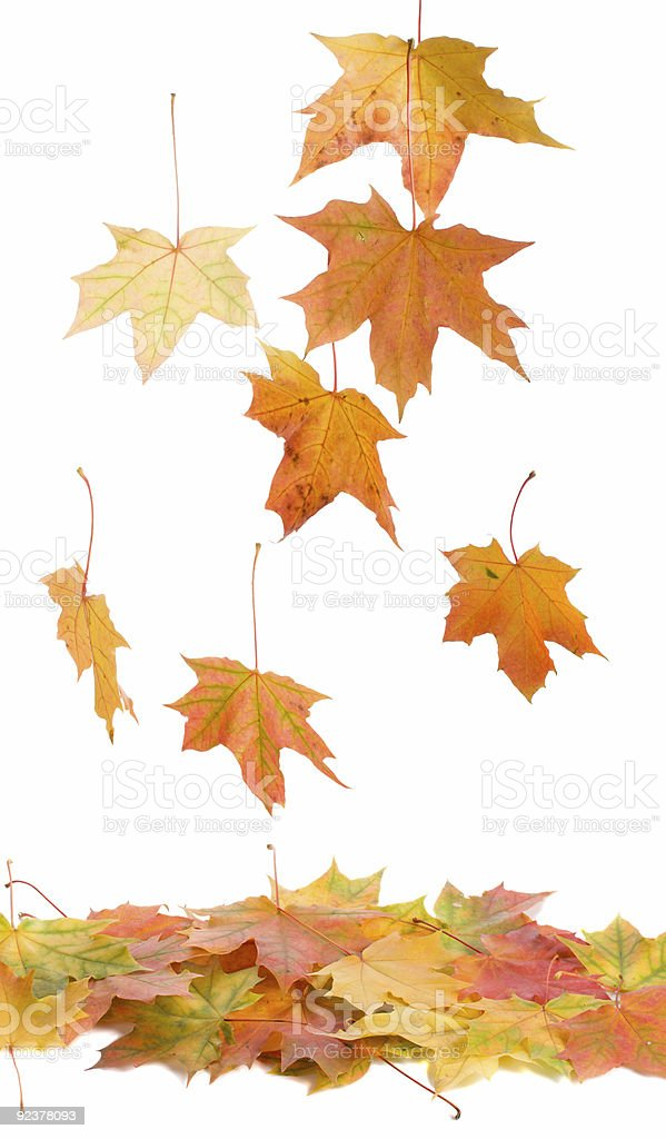 fallen maple leaves royalty-free stock photo
