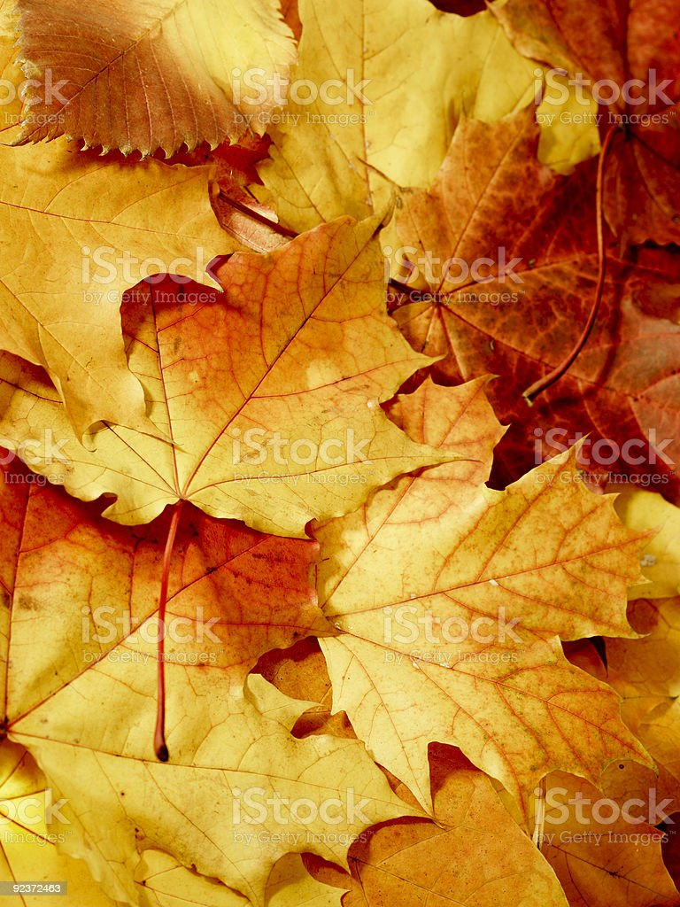 fallen maple multi-coloured leaves royalty-free stock photo