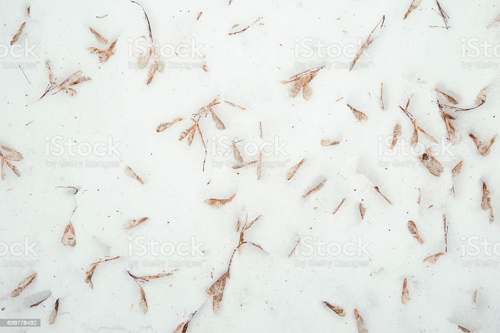 Fallen Maple Seeds in Snow stock photo