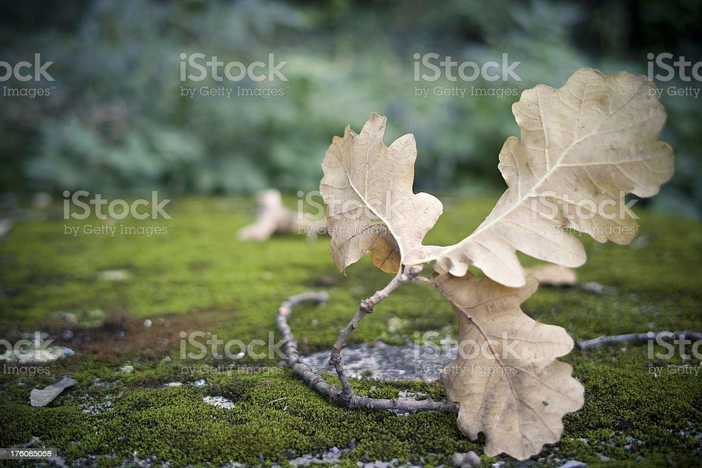 Fallen Oak Leaf in Autumn royalty-free stock photo