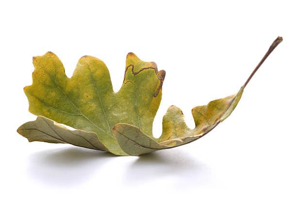 gefallenen eichenblatt - eichenblatt stock-fotos und bilder