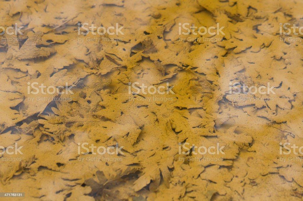 Fallen oak leaves - hojas de roble caidas royalty-free stock photo