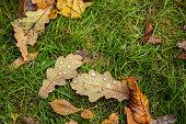 Fallen oak leaves with dew on a green grass.