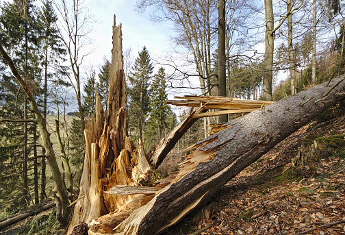 Fallen pine tree with splintered trunk on a wooded hillside