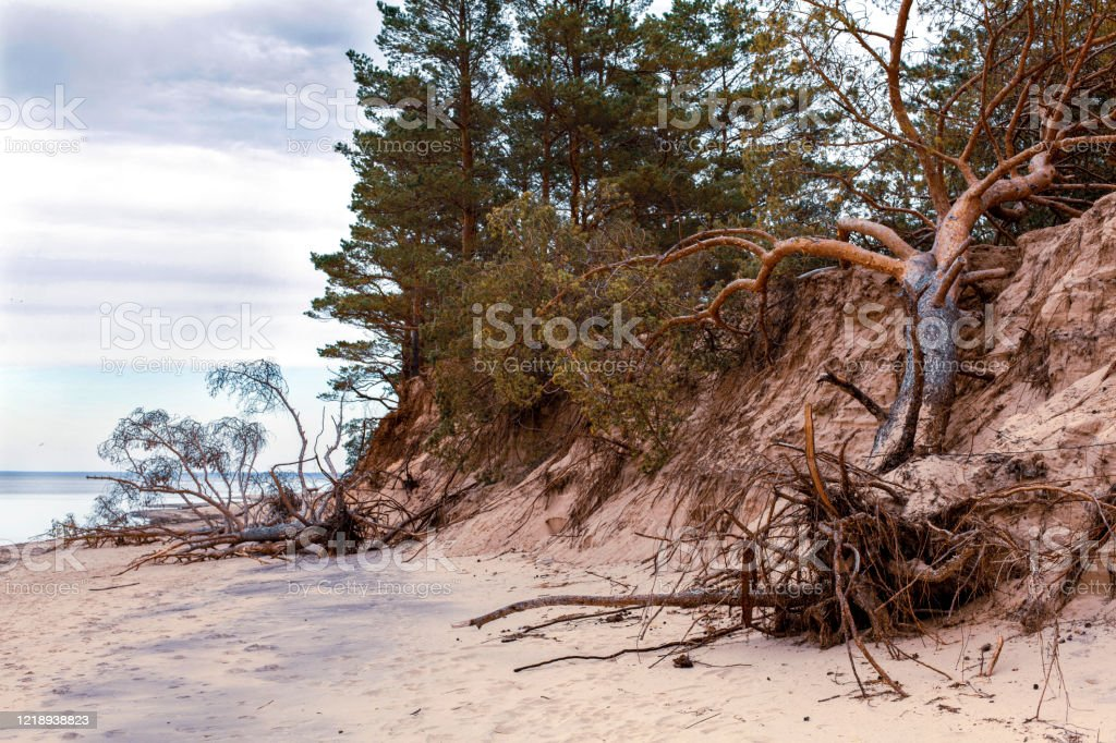 Fallen pine trees on the washed-up sand shore coastline coastal destruction - Royalty-free Baltic Countries Stock Photo