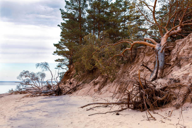 Fallen pine trees on the washed-up sand shore coastline coastal destruction stock photo