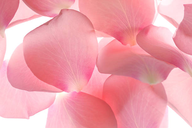 fallen pink rose petals from a vase  - rose petals stock pictures, royalty-free photos & images