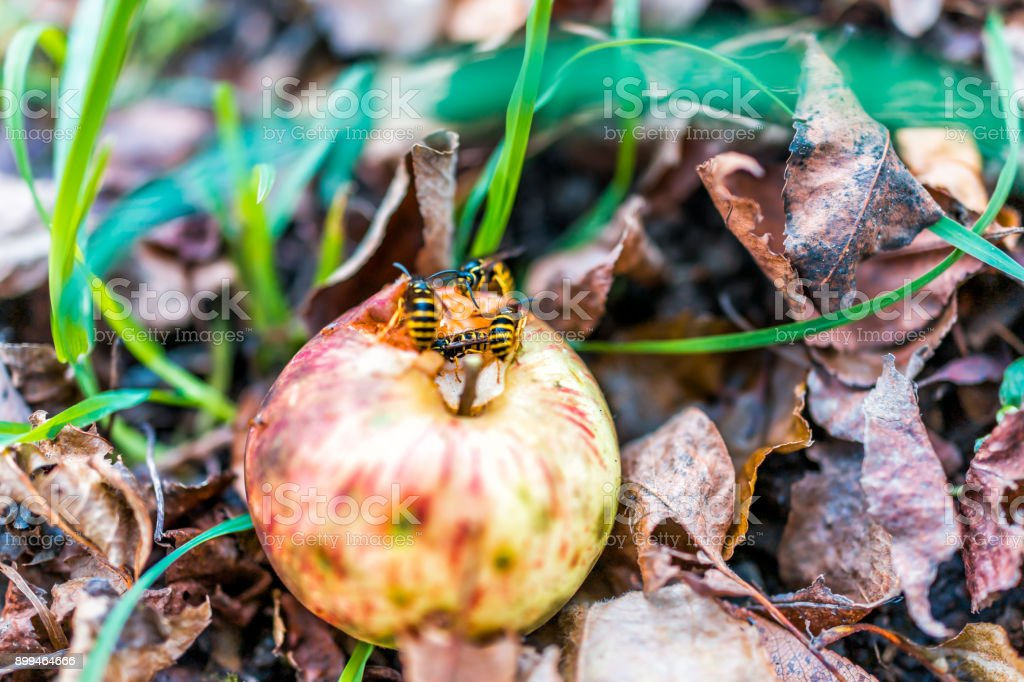 Fallen red apple on ground with many yellow jacket bees eating it closeup stock photo