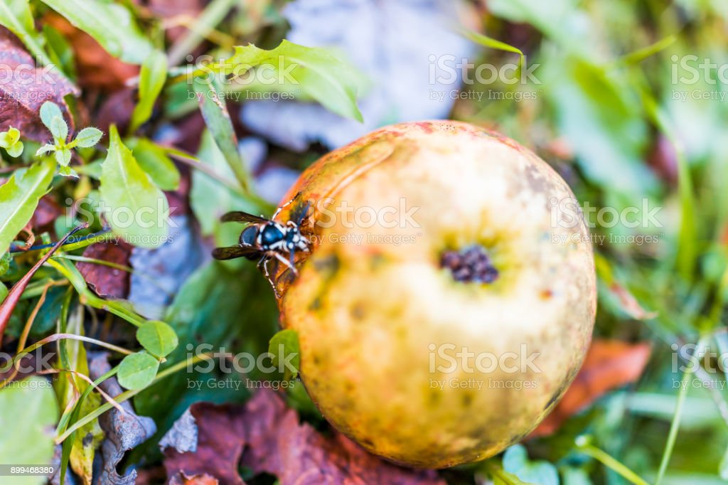 Maçã vermelha caída no chão com branco careca enfrentou Vespa de abelha besouro comendo closeup - foto de acervo