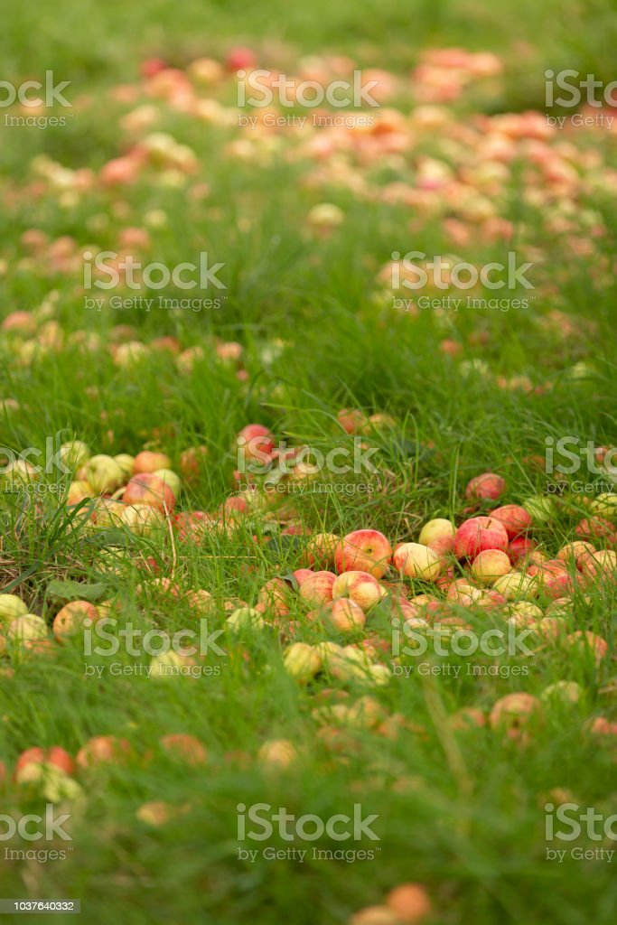 Fallen red apples on the ground stock photo