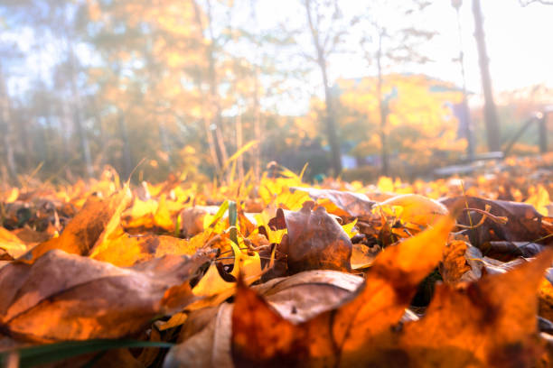 Fallen red leaves in a misty forest floor stock photo