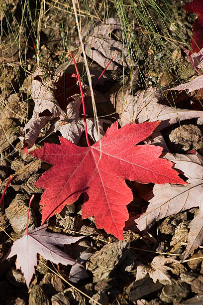 Fallen Red Maple Leaf stock photo
