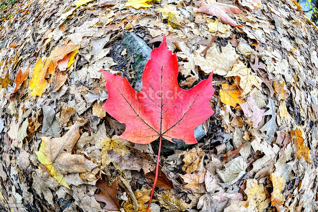 Fallen Red Maple Leaf Surrounded by Leaves foto stock royalty-free