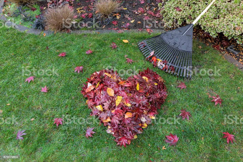 Fallen red maple tree leaves raked into heart shape on green grass with rake fall season stock photo