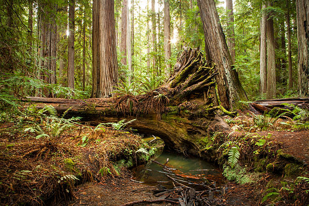 Fallen Redwood Tree, Montgomery Woods State Natural Reserve, California A fallen redwood tree over a small creek with it's roots exposed in the Montgomery Woods State Natural Reserve in Northern California. fallen tree stock pictures, royalty-free photos & images