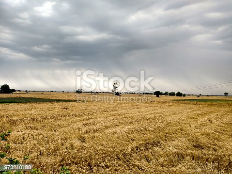 fallen ripe grain crop due to rain and bad weather and raining in the background.