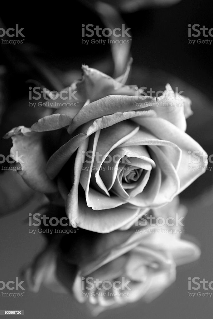 Fallen Rose stock photo