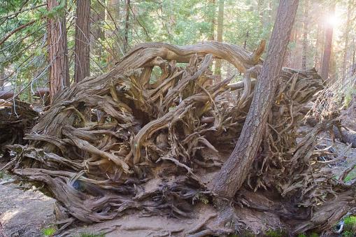 Fallen Sequoia tree