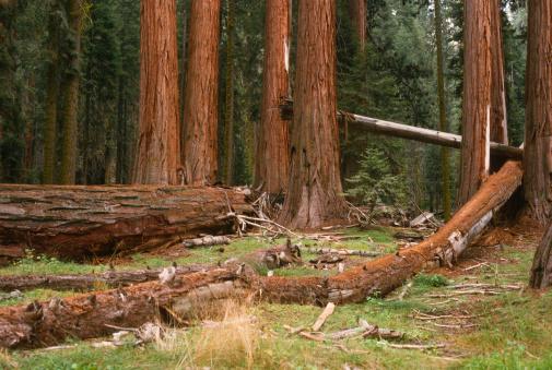 Fallen Sequoia trees in forest