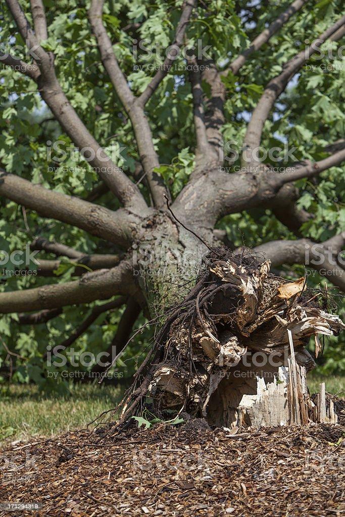 fallen storm damaged tree stock photo