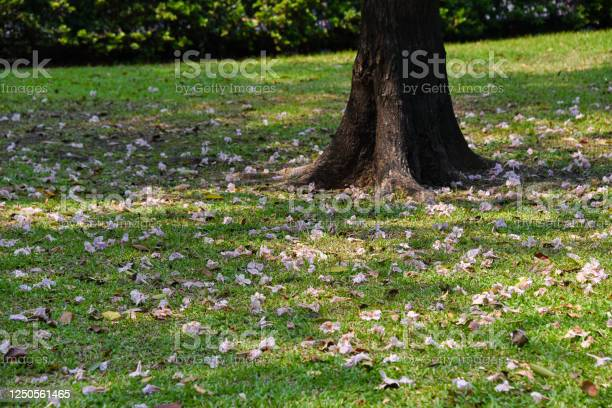 Fallen tabebuia tree flowers on the ground in the park picture id1250561465?b=1&k=6&m=1250561465&s=612x612&h=vz7zqrqs58z4gj3zilud3qnyaswczl1mr9xmi7ltrai=