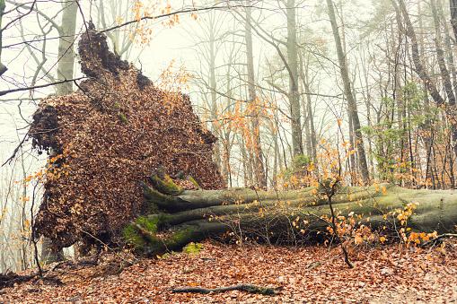 Fallen tree after hurricane