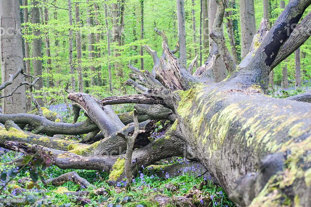 fallen tree at the Spring Forest Background stock photo