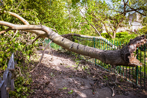 Fallen tree blocking a path after a storm