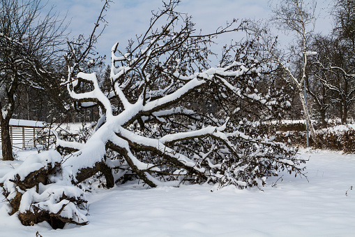 Fallen tree covered with snow.