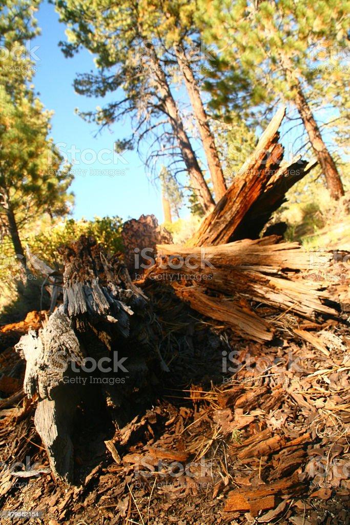 Fallen Tree Decay - Sequoia National Park stock photo